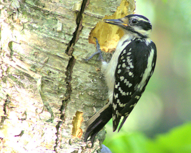Downey woodpecker- female