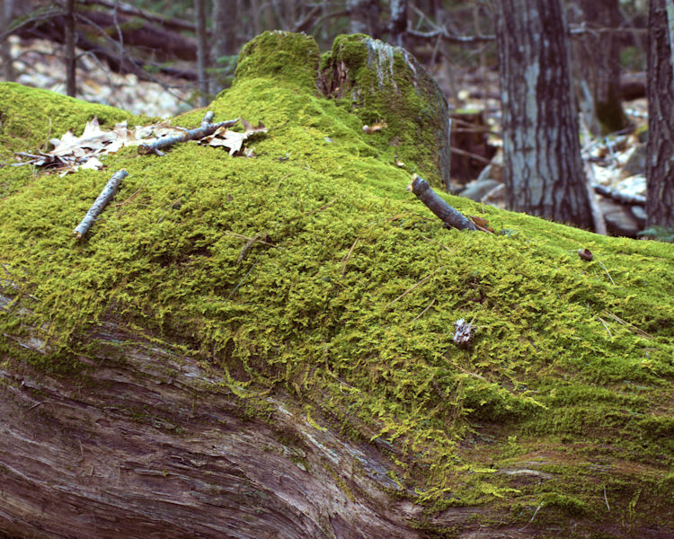 Moss on the log