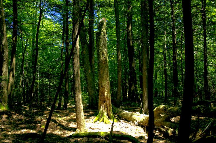 Smithfield plantation tree