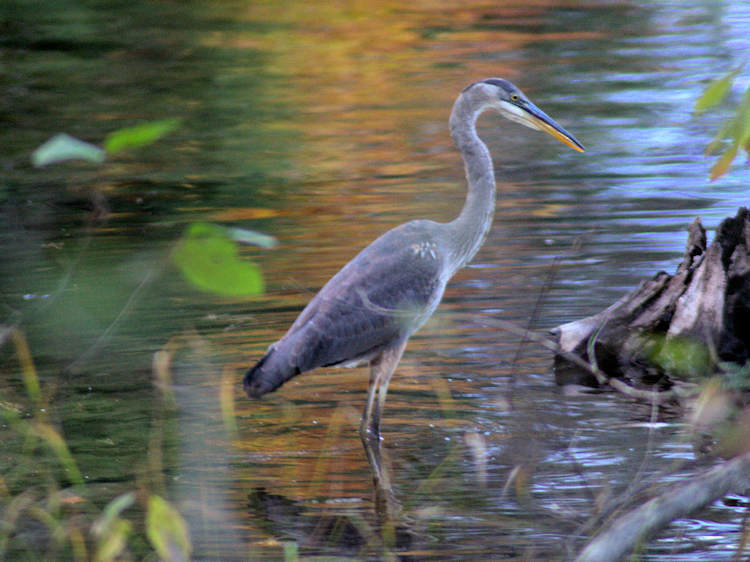 Heron wading along the lake shore