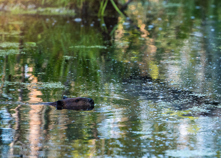 beaver in the bog d81_3700_20160802_556x_160802