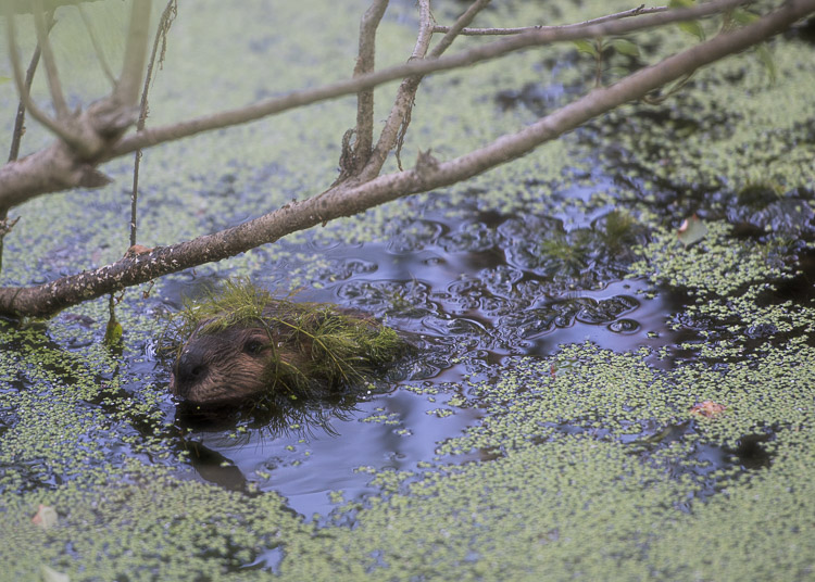 beaver in the bog d81_3737_20160802_593x_16080