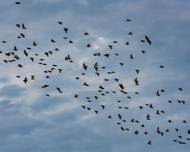 flock of birds d81_4074_20160918_746x