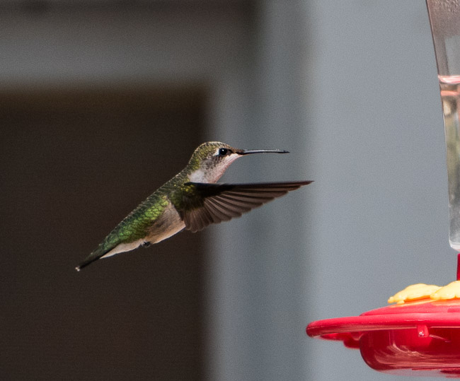 hummingbird hovering 20160917_781z