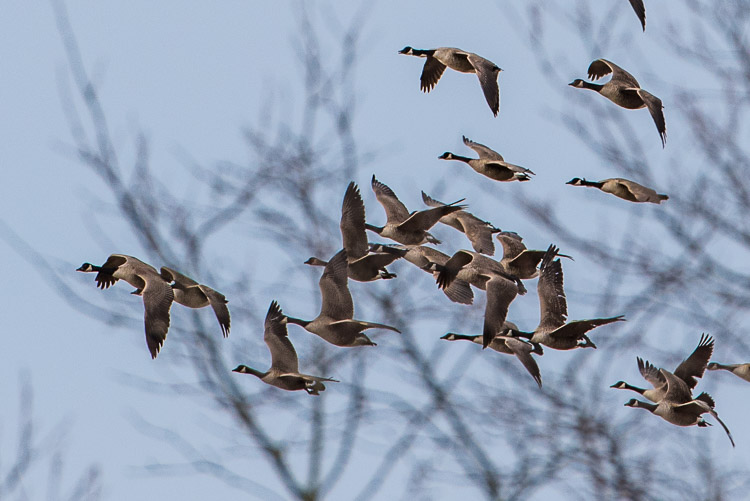 canada_geese_d81_4760_z