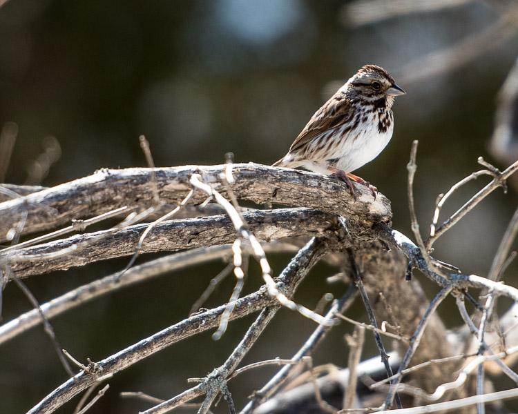 sparrow_d81_0384_150405