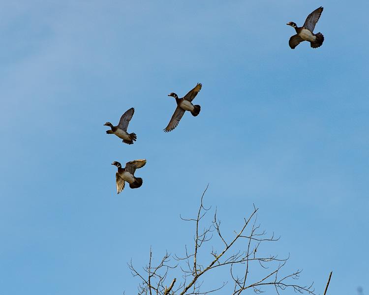 wood ducks in flight D81_5335_z