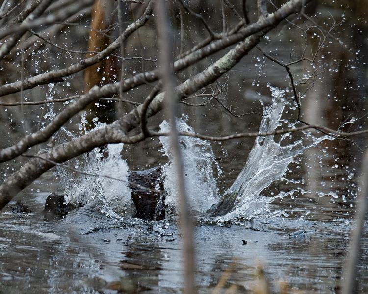 beaver tail slap D81_5379_z