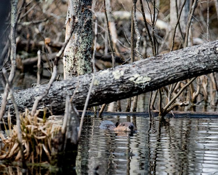 beaver in the bog D81_5383_z