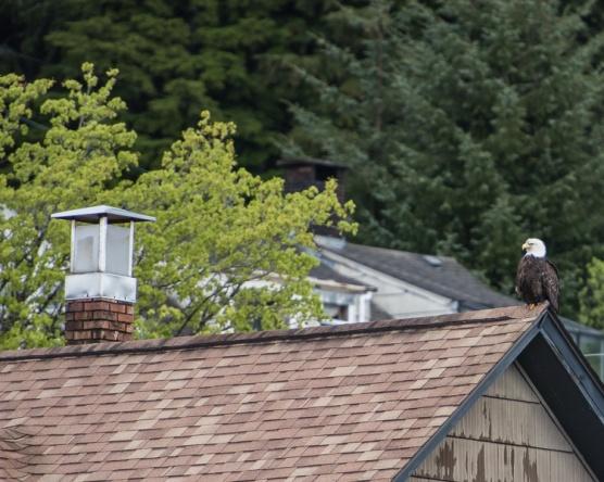 Eagle on a roof D81_5555_z