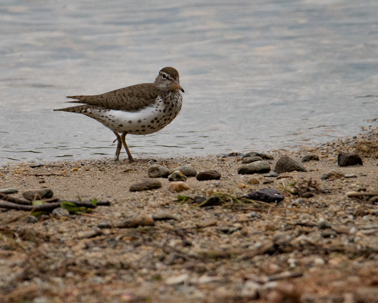 Spotted sandpiper D81_6314_z