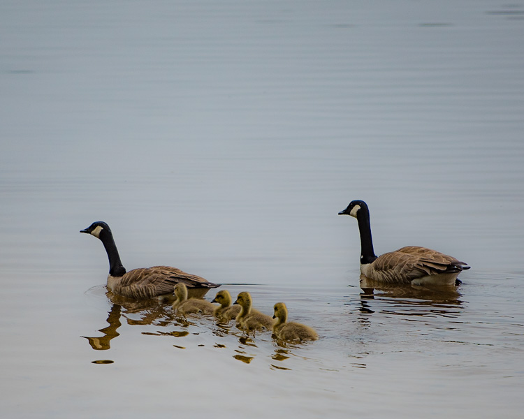 Canada geese family D81_6382_z