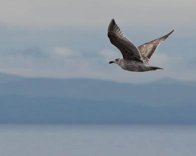 gull on the west coast D81_6112_z